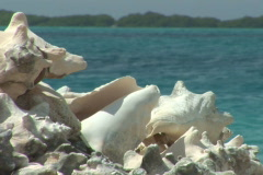 NTSC: Conch shells Stock Footage
