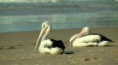 Pelicans Sitting & Resting on Ocean Sandy Beach Stock Footage