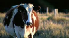 Chestnut & White Cow with Grass in Mouth - Late Afternoon Light Stock Footage