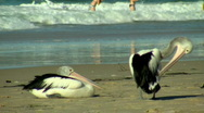 Stock Video Footage of Pelicans & Bikini-Clad Women Swimming at the Beach