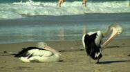 Pelicans & Bikini-Clad Women Swimming at the Beach Stock Footage