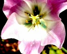 Tulip Stock Footage