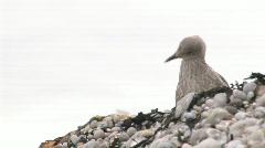 Etretat seabird 2 - stock footage