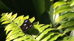 Common Eggfly butterfly on fern Stock Footage