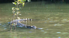 crocodile turns while swimming by mangroves Stock Footage