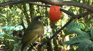 Stock Video Footage of  Lewin's Honeyeater bird feeding on citrus in Cairns, Australia