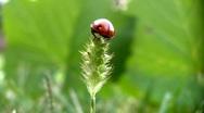 Ladybird on a grass. Stock Footage
