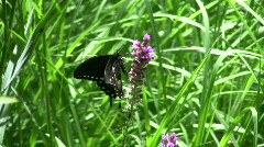 Black Swallowtail Butterfly Stock Footage