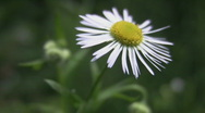 Delicate daisy. Stock Footage