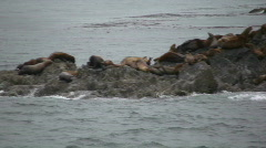 male sea lions - stock footage