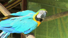Peru amazon blue parrot Stock Footage