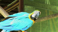 Stock Video Footage of Peru amazon blue parrot