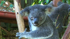 Koala close up Australia Stock Footage