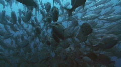 Huge School of Big Eye Jacks (Trevally) Stock Footage