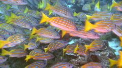 Blue and Gold Snapper Stock Footage