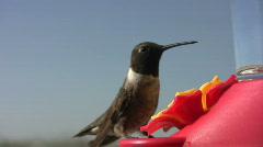 Male Black-Chinned Hummingbird Drinking Stock Footage