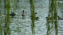 Washington DC Pond with Ducks Closeup with Audio Stock Footage