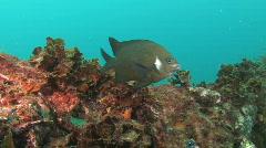 Damsel fish on motorbike wreck Stock Footage