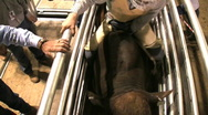 Out of the chute-Rodeo ride Stock Footage