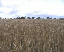 Wheat Field Loop - stock footage