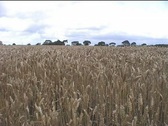 Stock Video Footage of Wheat Field Loop