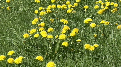 Group of dandelion - stock footage