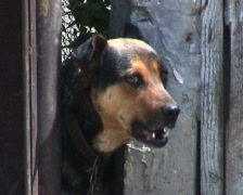 Barking Dog - stock footage