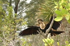 "Anhinga (""water turkey"") Stock Footage"