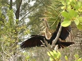 "Stock Video Footage of Anhinga (""water turkey"")"