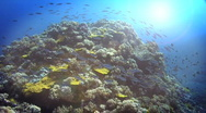 Stock Video Footage of Fusilers Reef Scene HD