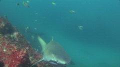 Grey Nurse Shark Stock Footage