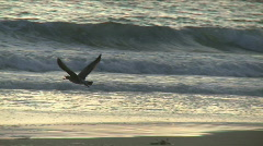 Manhattan Beach Bird 01 Stock Footage
