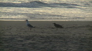 Stock Video Footage of Manhattan Beach Bird 01