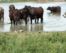 Cows Take Bath Stock Footage