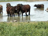 Stock Video Footage of Cows Take Bath