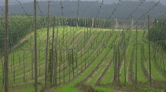 Germany Wolnzach region Hops ripe in September Stock Footage
