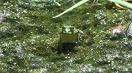 Stock Video Footage of Frog