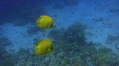 Butterfly Fish & Reef Inhabitants Stock Footage
