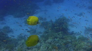Stock Video Footage of Butterfly Fish & Reef Inhabitants