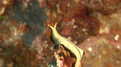 Nudibranch or Sea Slug Stock Footage