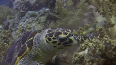 Feasting Sea TURTLE eating Coral - stock footage