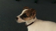 Jack russell terrier puppy Stock Footage