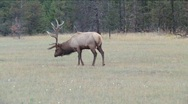 Stock Video Footage of  Bull Elk in rutting season