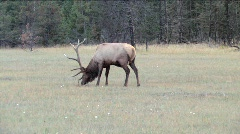 Stock Video Footage of Bull Elk getting ready to fight