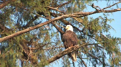 Eagle flying away Stock Footage