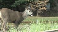 Stock Video Footage of  Young deer eating