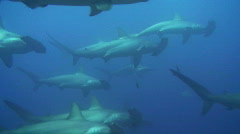 School of Hammerhead Sharks Stock Footage