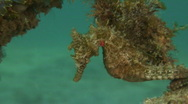 Seahorse Stock Footage