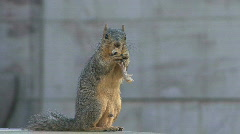 Hungry Squirrel Stock Footage