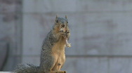 Stock Video Footage of Hungry Squirrel